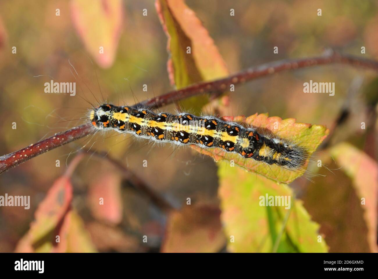 Eastern Tent caterpillar (hairy with red and white spots) crawling on twig top view, leaf blurry background Stock Photo