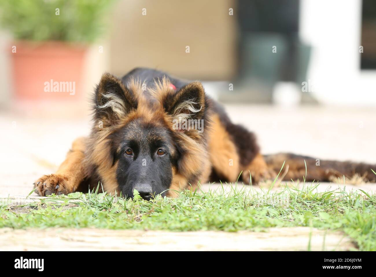 Portrait Of A Black And Tan Long Haired German Shepherd Puppy In Horse Riding Club Summertime Stock Photo Alamy
