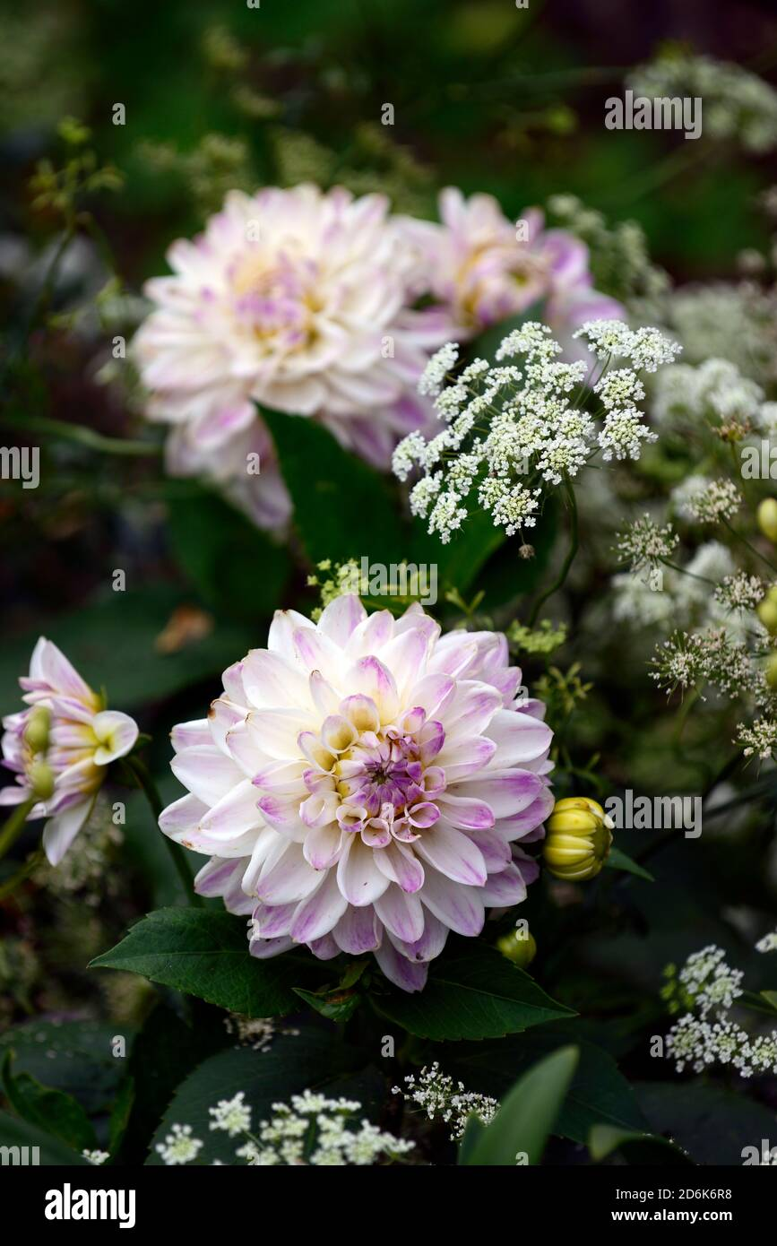 Dahlia Victoria Ann,white lilac flowers,flower,flowering,orlaya grandiflora,White lace flower,umbellifer,mix,mixed planting shceme,perrenials,annuals, Stock Photo
