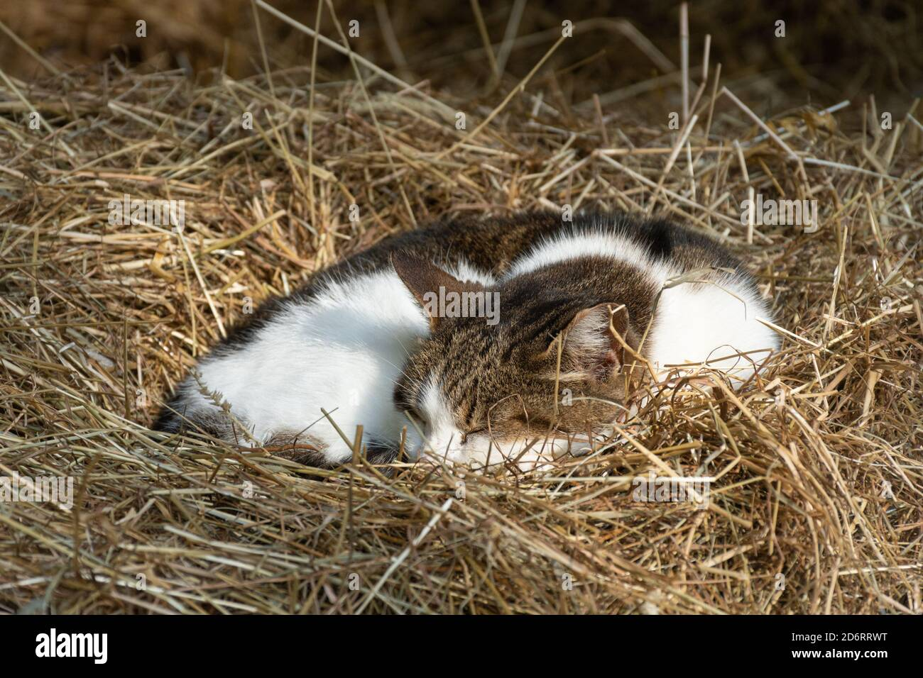 Cute cat sleeping on a bed of straw Stock Photo