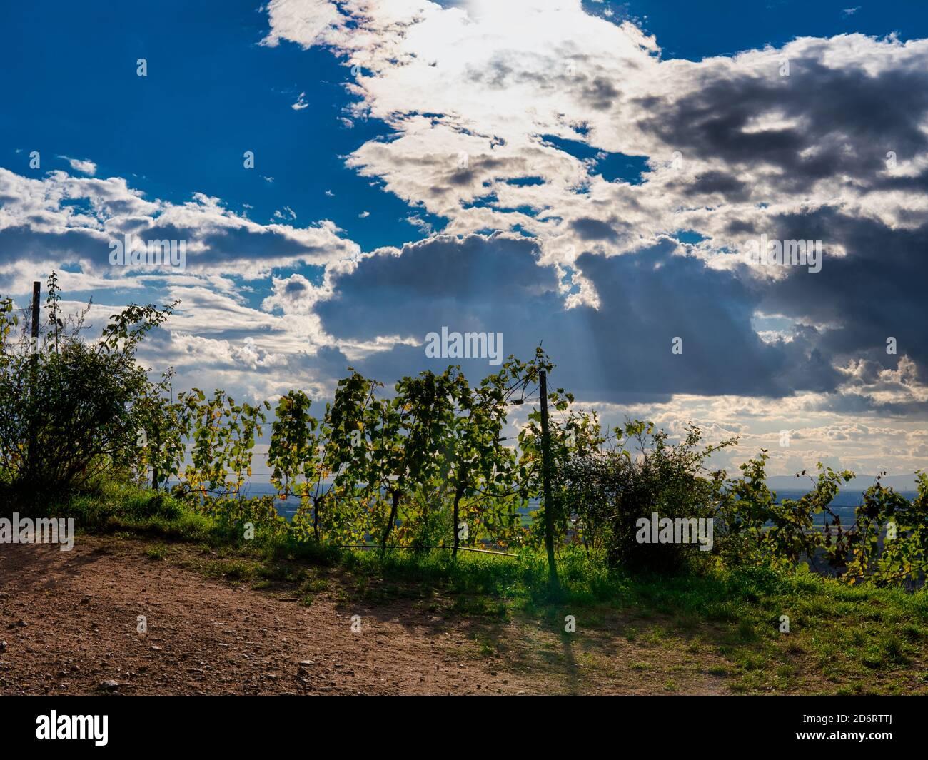 Weinreben im Sonnenlicht Stock Photo