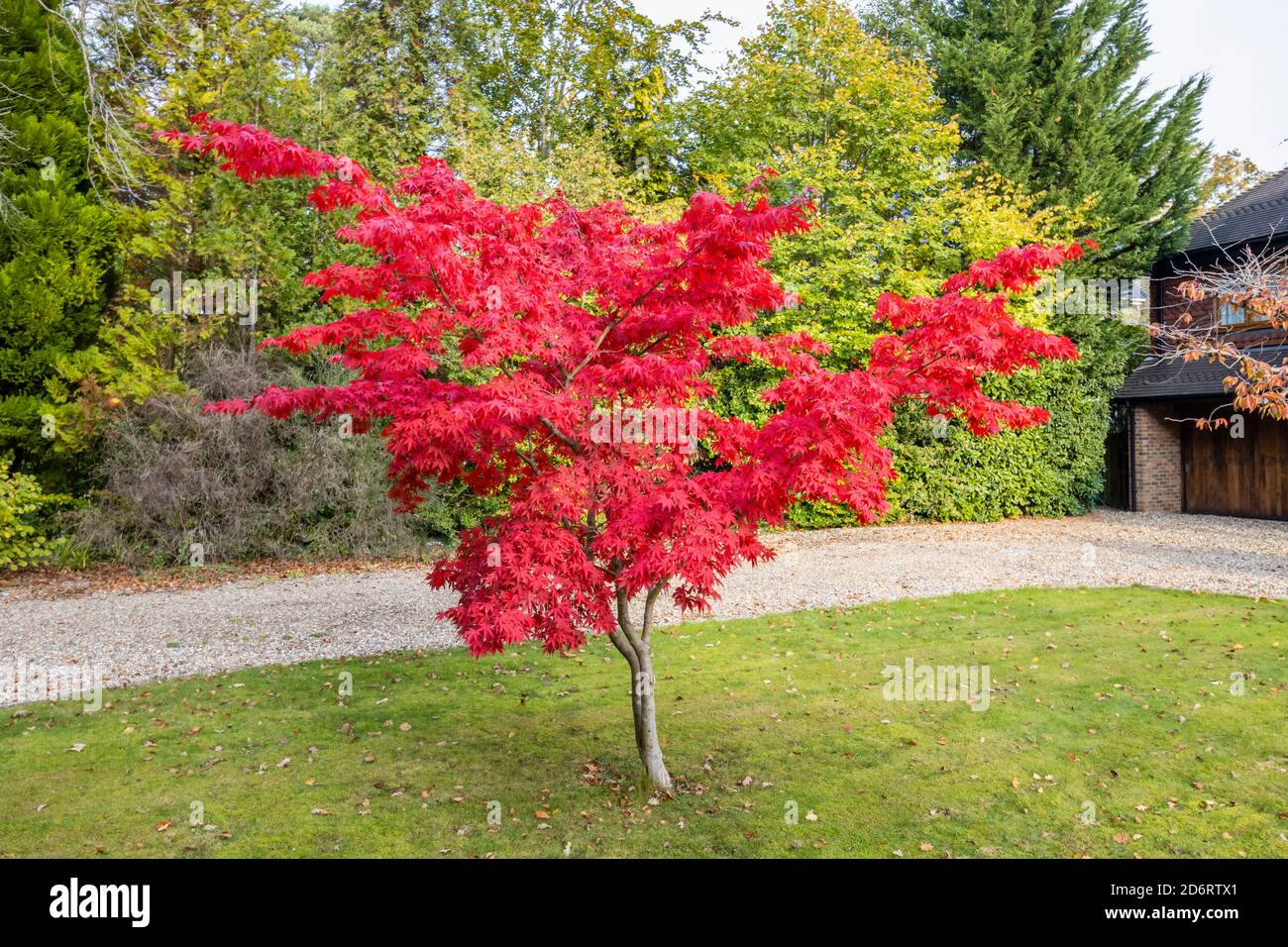 A lone Japanese maple (Acer palmatum) tree in crimson red autumn colours growing in the front garden of a suburban house in Surrey, south-east England Stock Photo