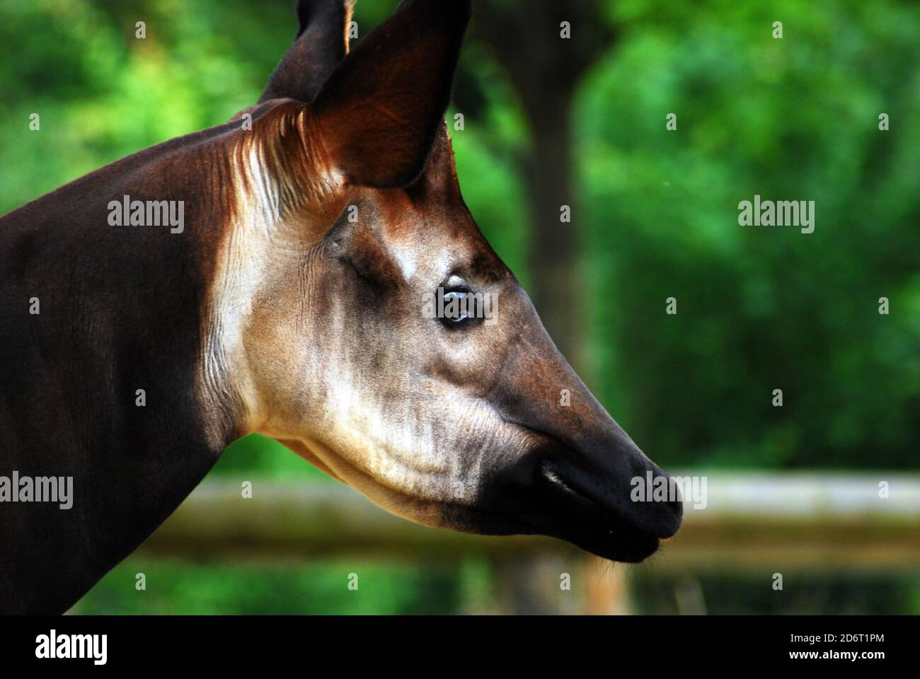 Close-up head and neck of an Okapi (Okapia johnstoni) This endangered species isalso known as the Forest Giraffe, Congolese Giraffe, or Zebra Giraffe Stock Photo