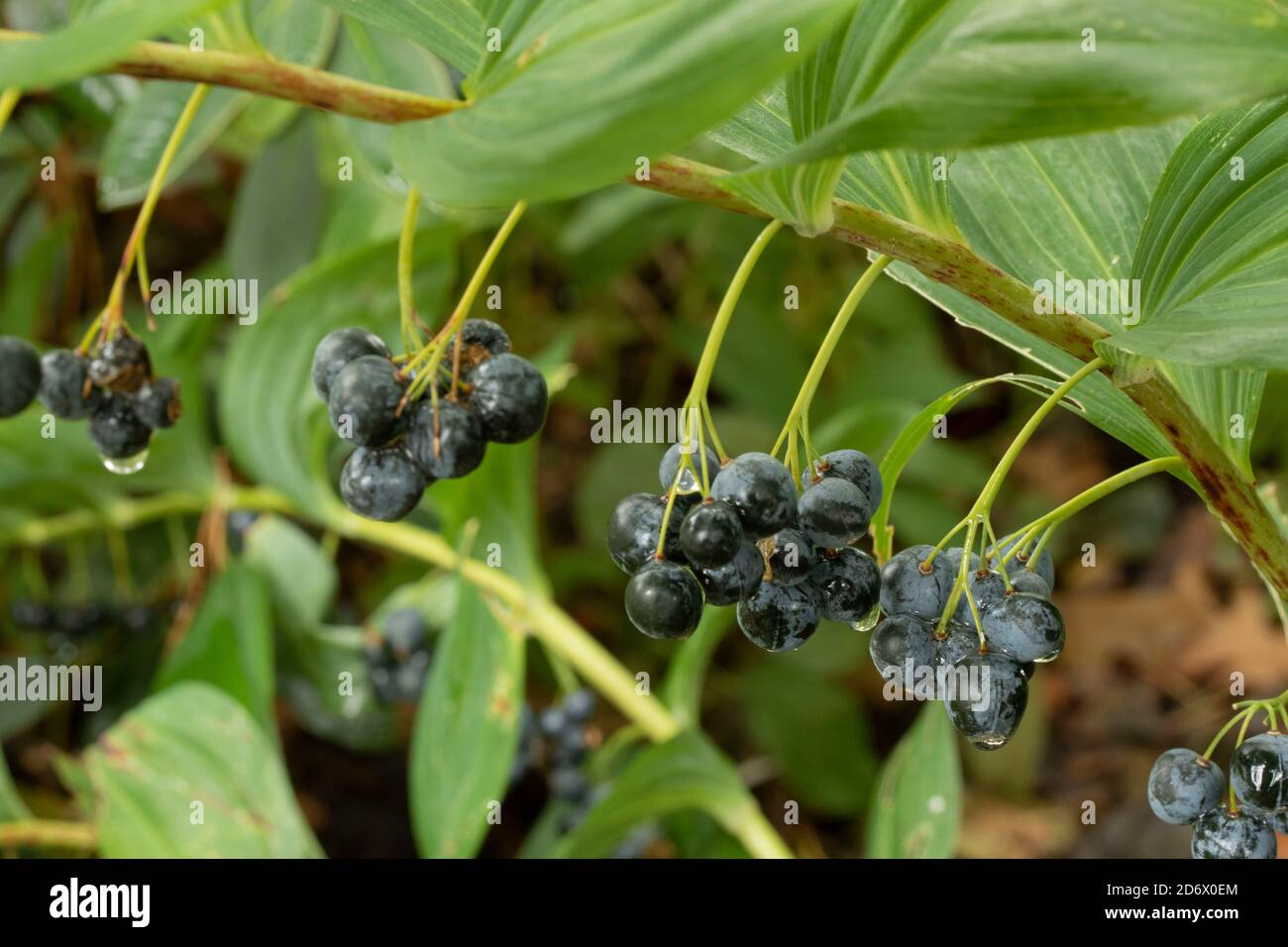Polygonatum Odoratum (Silver Wings) with late summer berries and foliage Stock Photo