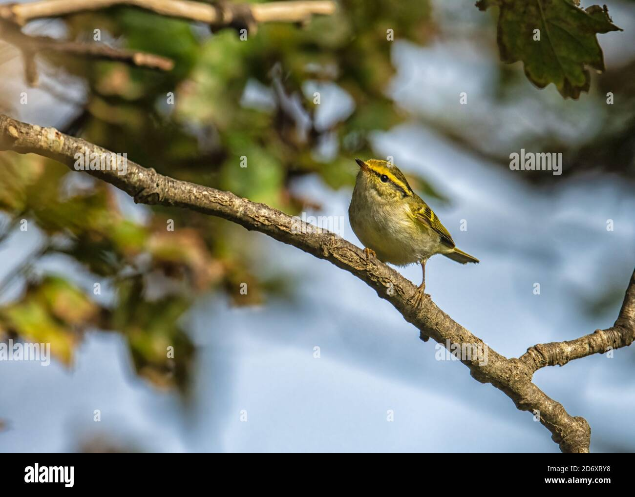 Pallas's leaf warbler Phylloscopus proregulus feeding in the tree canopy eratically Stock Photo