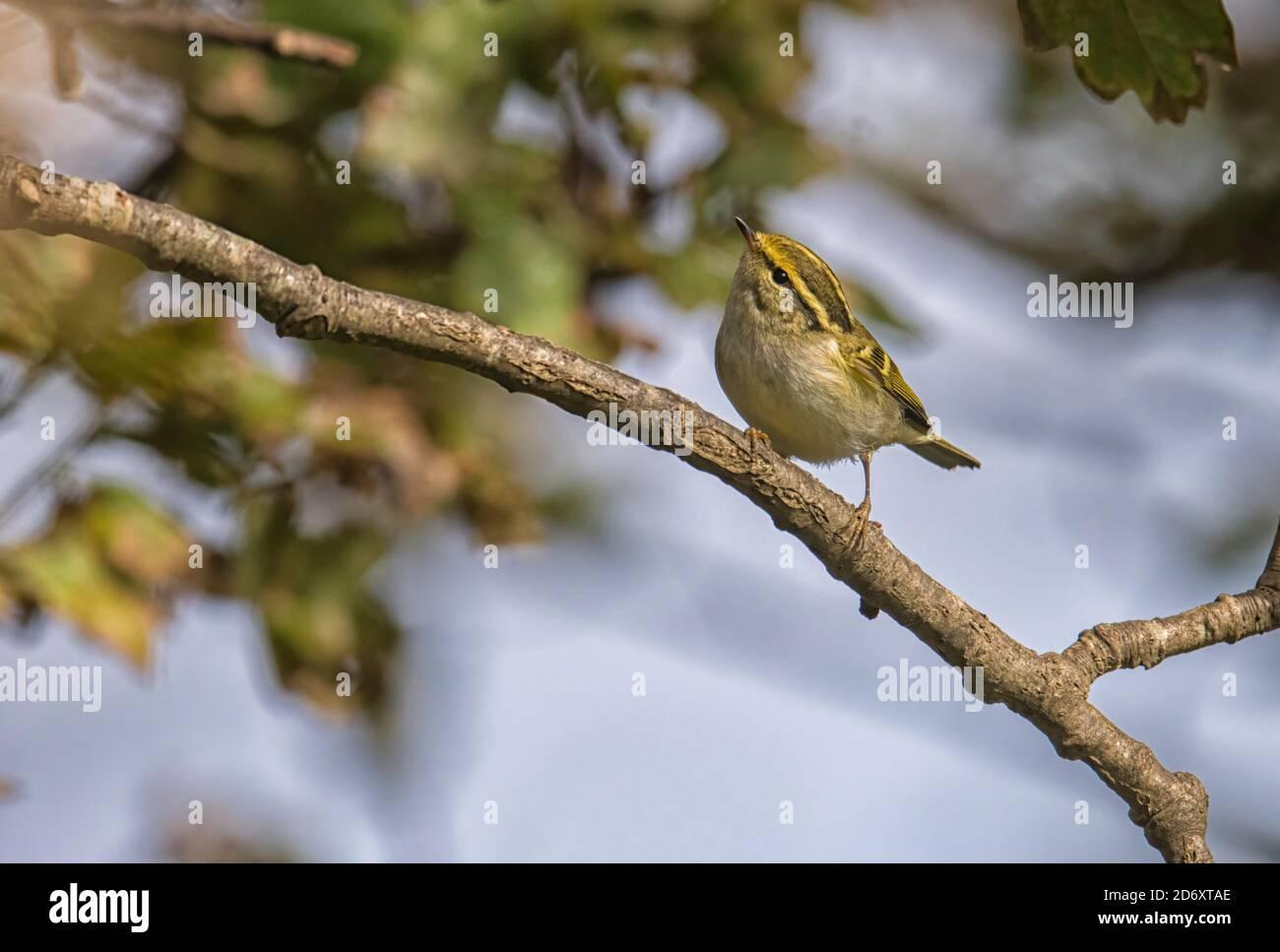 Pallas's leaf warbler Phylloscopus proregulus feeding in the tree canopy eratically Stock Photo
