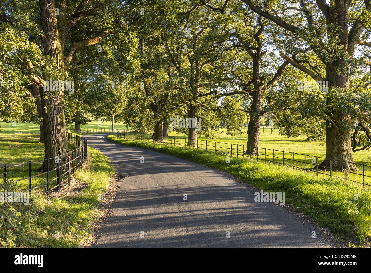 Evening light on an avenue of old oak trees beside a lane between the Cotswold villages of Stanton and Stanway Gloucestershire UK Stock Photo