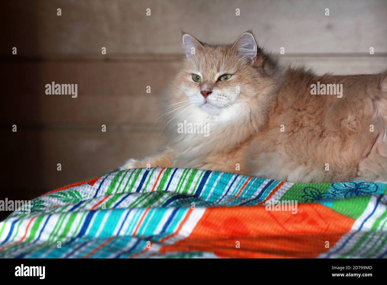 Siberian cat on the bed Stock Photo
