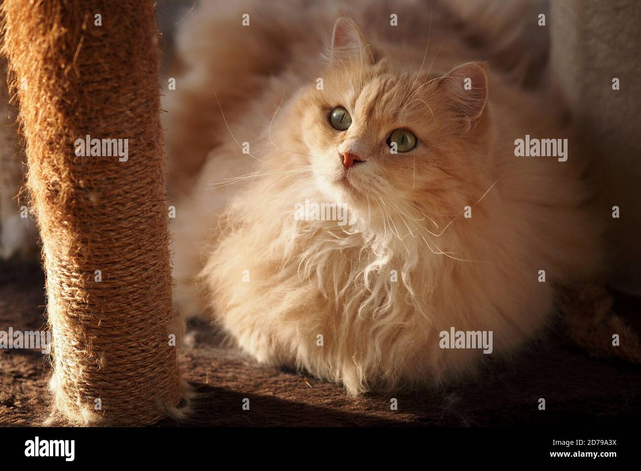 Portrait of a Siberian Cat Stock Photo