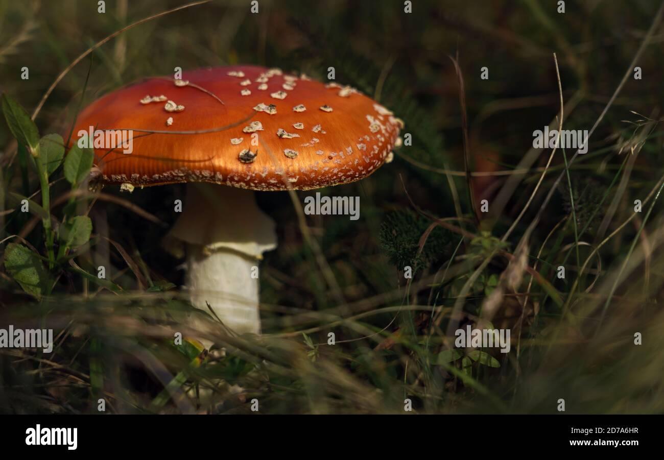 Toxic mushroom or toadstool between grass Stock Photo