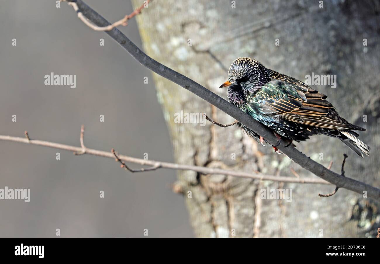 A European starling (Sturnus vulgaris) perched on a branch of a maple tree in winter in New England Stock Photo