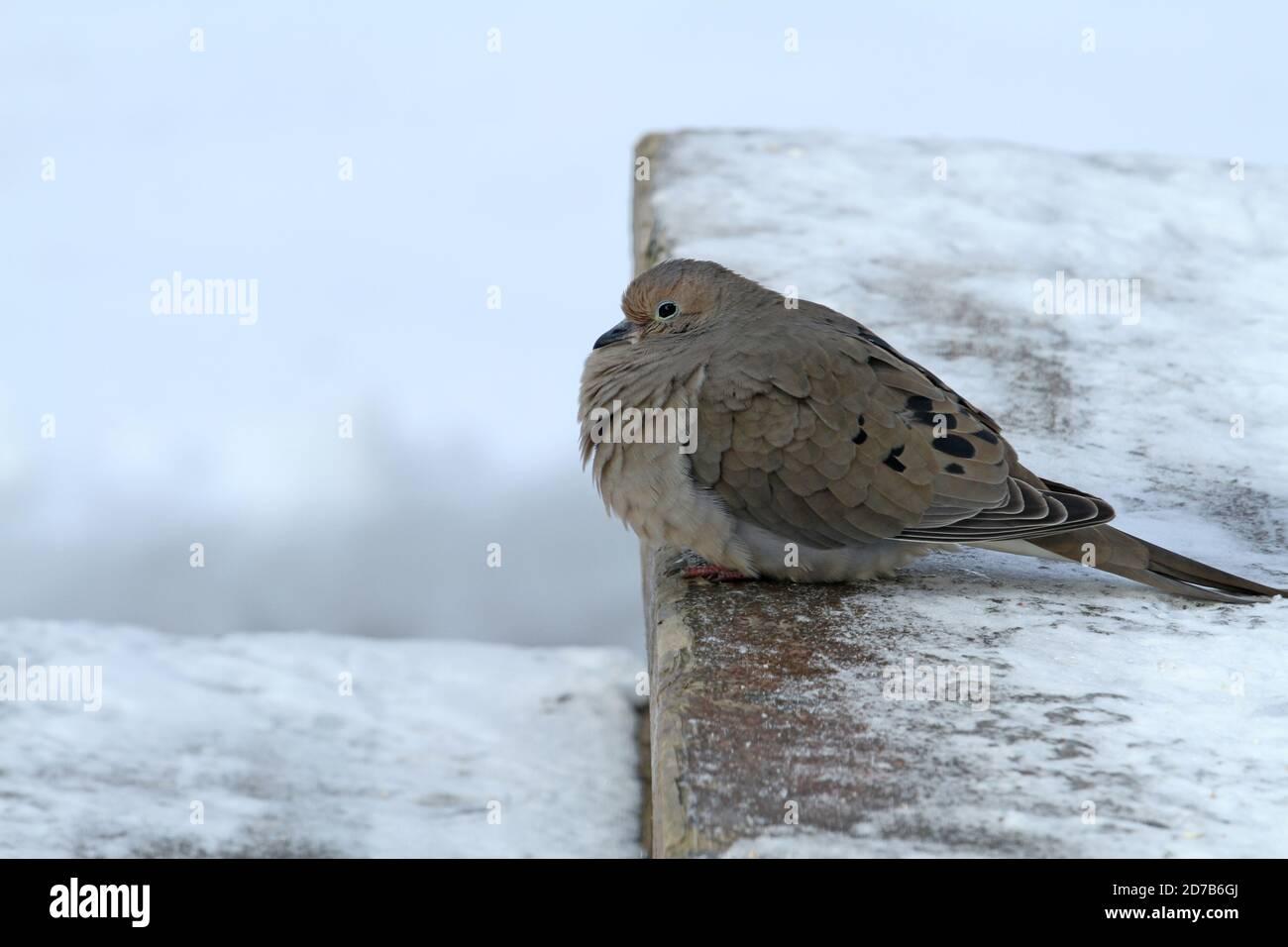 Mourning dove (Zenaida macroura) Stock Photo