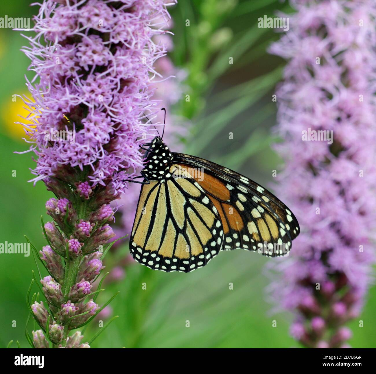A close-up of a Monarch butterfly (Danaus plexippus), also known as the milkweed butterfly, feeding in a garden on blazing star (Liatris spicata) Stock Photo