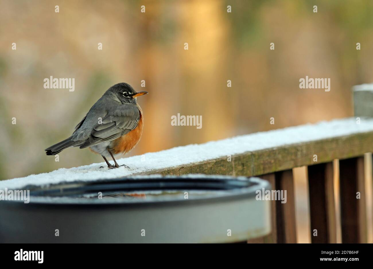 Close-up of an American robin (Turdus migratorius) perched on a deck railing in winter Stock Photo