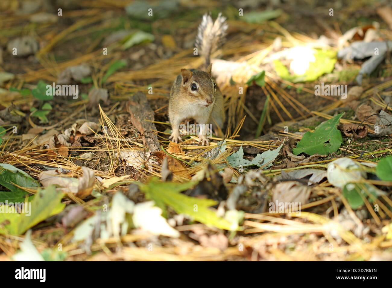 An Eastern chipmunk (Tamias striatus) emerging from its underground burrow in the ground Stock Photo