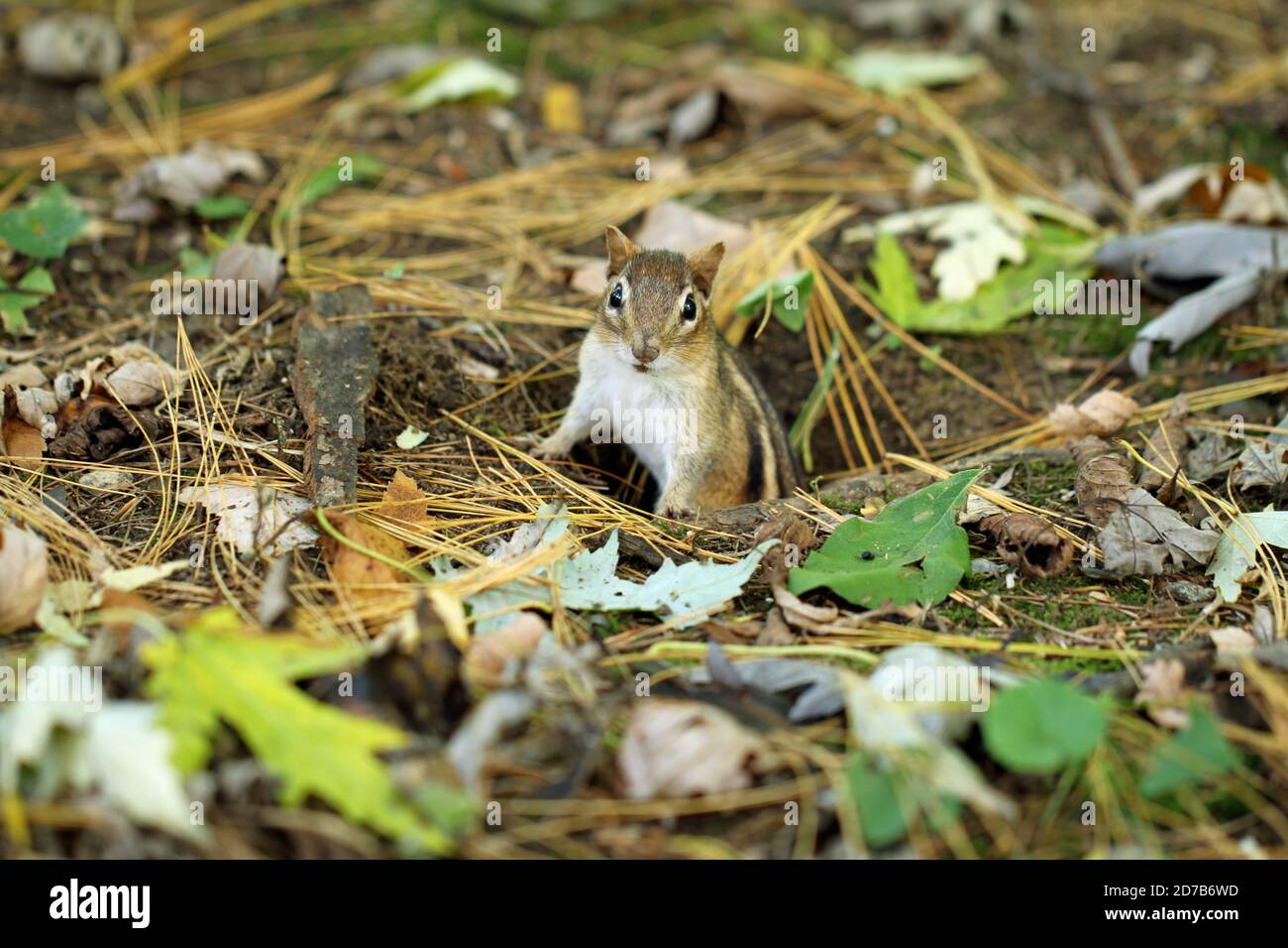 An Eastern chipmunk (Tamias striatus) emerging from its underground burrow in autumn in New England Stock Photo