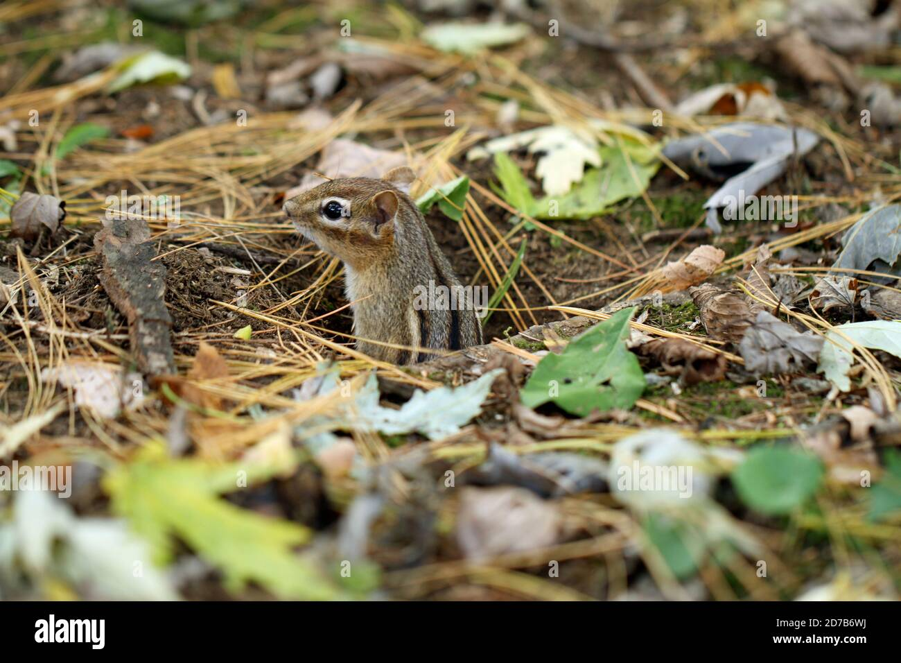 A well-camouflaged Eastern chipmunk (Tamias striatus) emerging from its underground burrow in autumn in New England Stock Photo