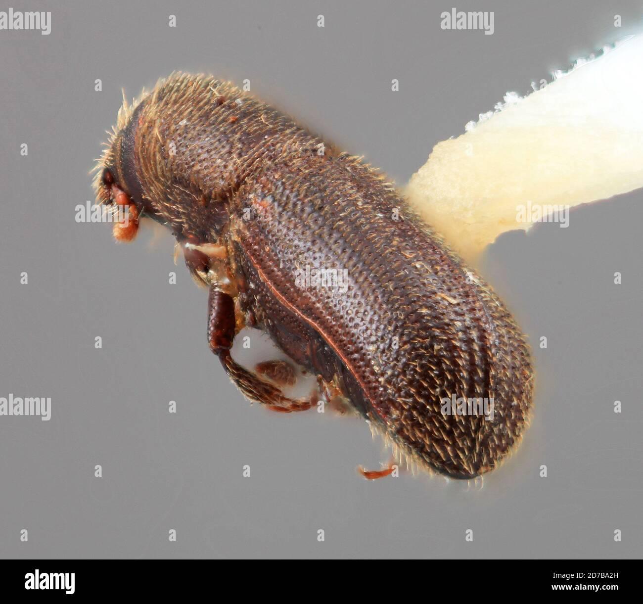 Pinned, W. Almora, Kumaon U.P. July 1916 HGC, India, Hylurgus indicus Wood, 1985, Animalia, Arthropoda, Insecta, Coleoptera, Curculionidae, Scolytinae Stock Photo