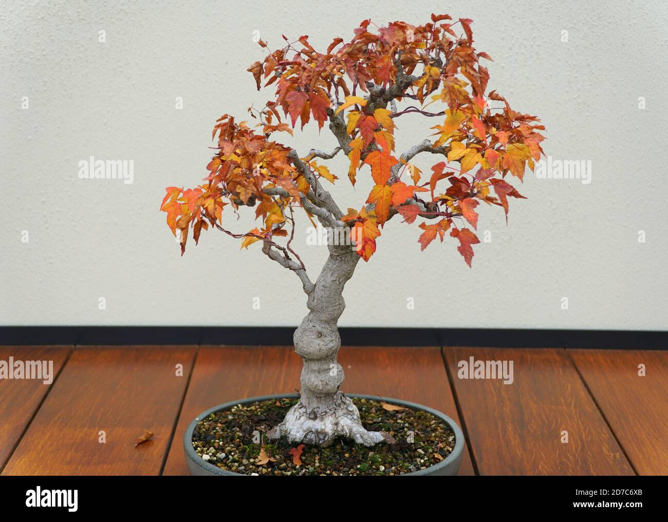 Japanese Maple Bonsai Tree With Red And Yellow Leaves In The Fall Stock Photo Alamy
