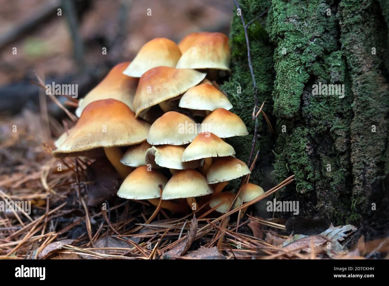 Enokitake mushroom, enoki, futu, seafood mushroom, growing edible gourmet and medicinal fungi on trees. Fungi growing in autumn pine forest Stock Photo