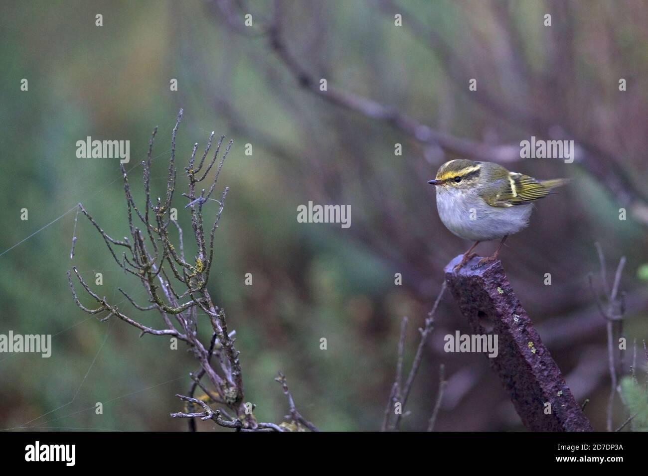 Pallas's Warbler (Phylloscopus proregulus) Stock Photo
