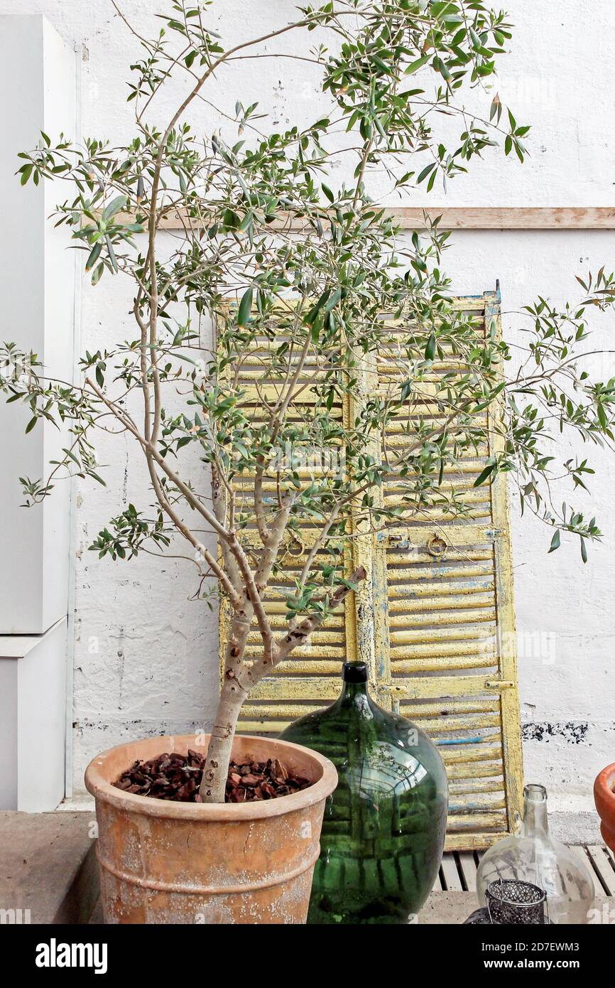 Olive Tree With Vintage Decorations At Indoor Garden Stock Photo Alamy
