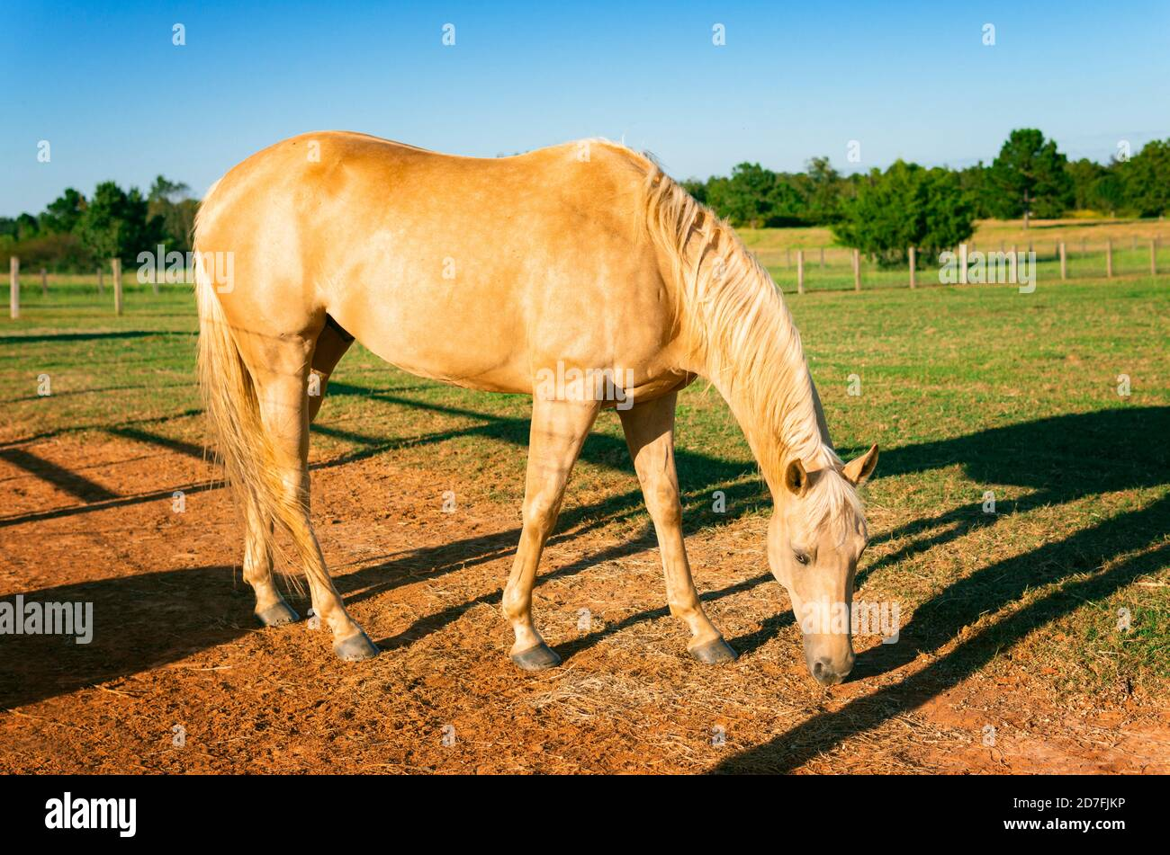 Golden Palomino High Resolution Stock Photography And Images Alamy