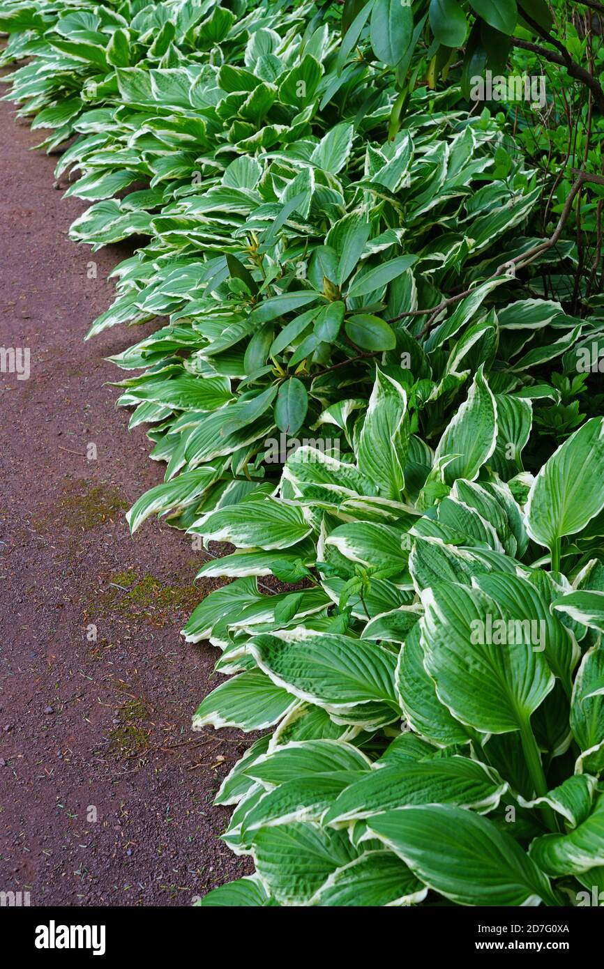 Border Of Green Hosta Plants In The Shade Garden Stock Photo Alamy