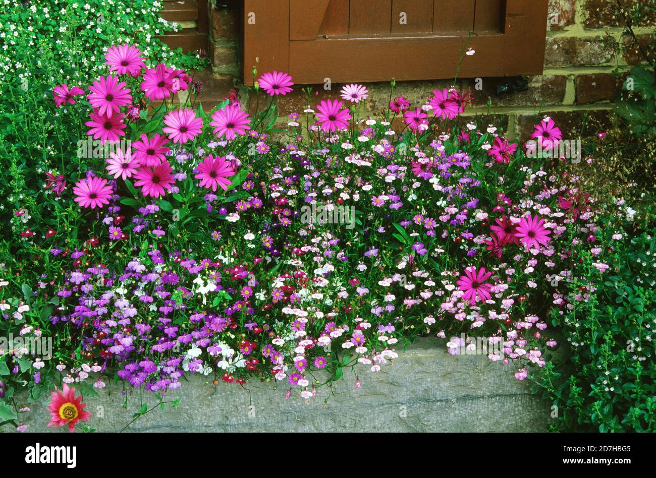 Window sill with flowers: Daisybush (Dimorphoteca sp syn. Osteospermum sp), Lobelia (Lobelia sp), Fleabane (Erigeron sp), Bacopa (Sutera sp). Private Stock Photo