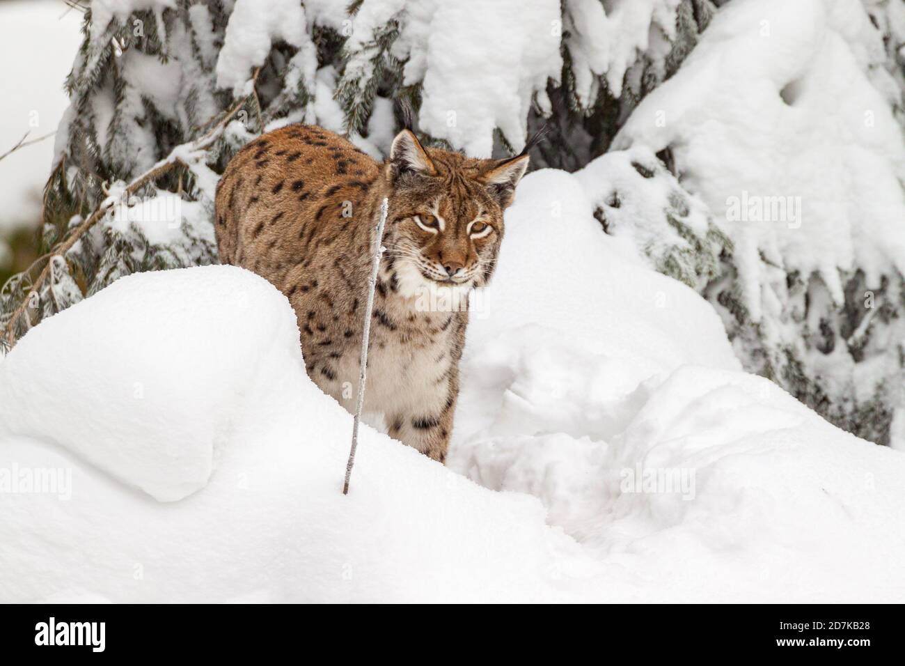a lynx in the Bayerischer Wald national park in winter Stock Photo