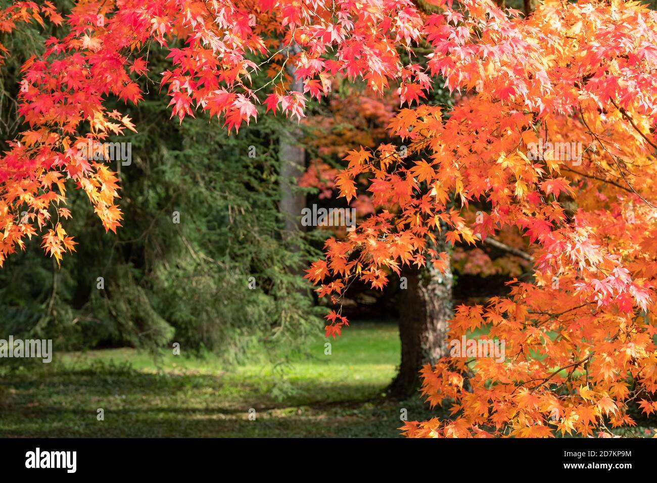 Autumn leaves. Acer and maple trees in a blaze of colour, photographed at Westonbirt Arboretum, Gloucestershire, UK in the month of October. Stock Photo