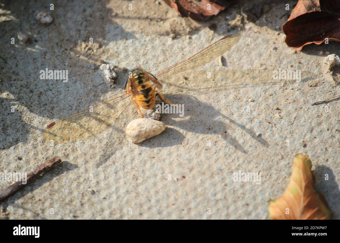 wasp having attacked red darter dragonfly kill or killing is normally something the dragonfly would hunt the wasp Stock Photo