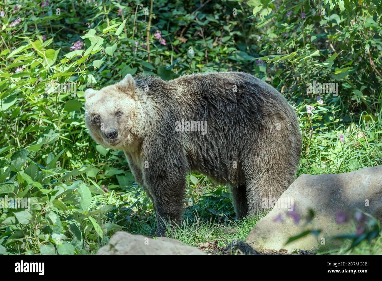 brown bear standing among vegetation, shot in park near Schapbach, Black Forest, Baden Wuttenberg, Germany Stock Photo