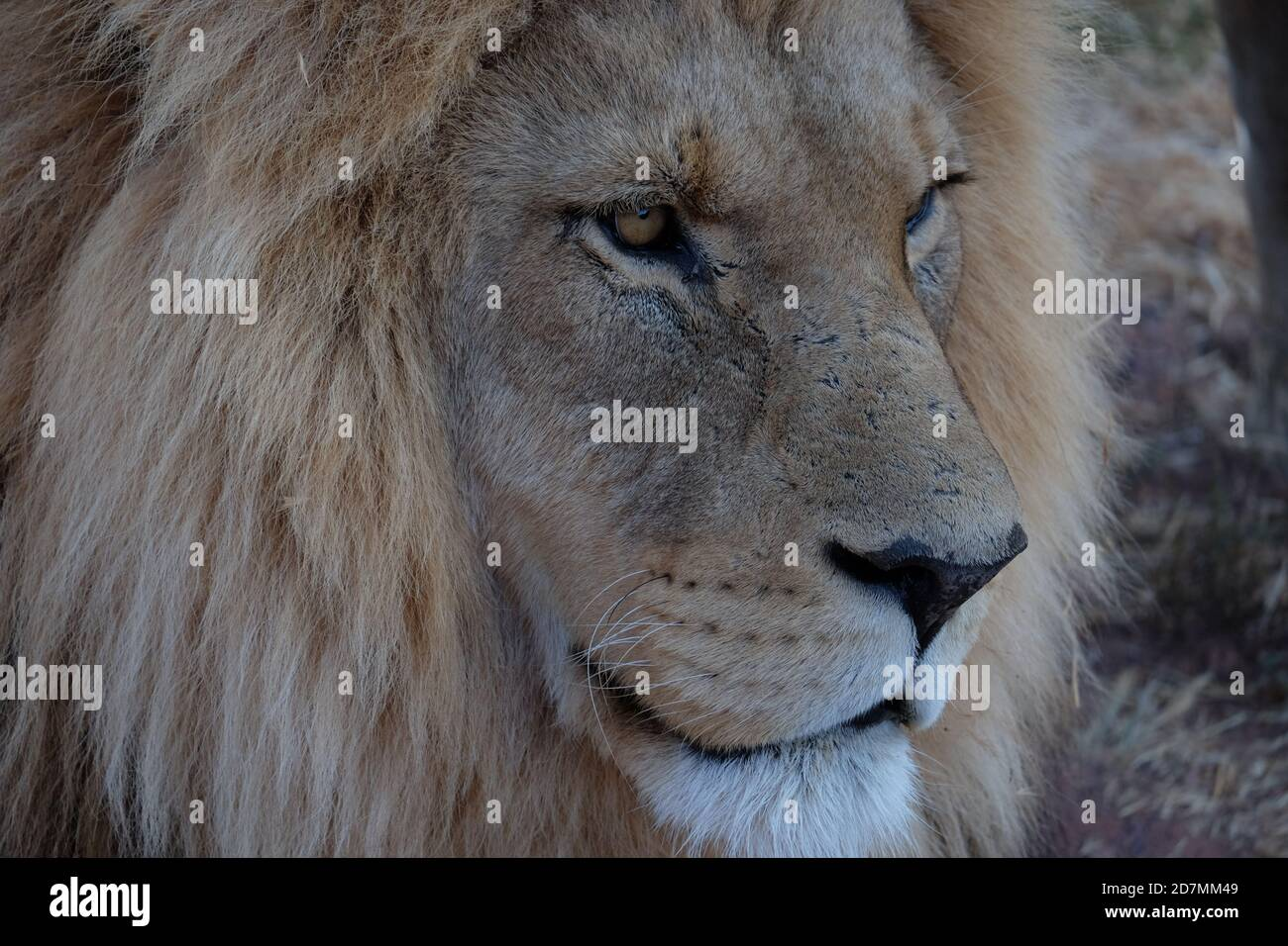 Lions in South Africa Stock Photo