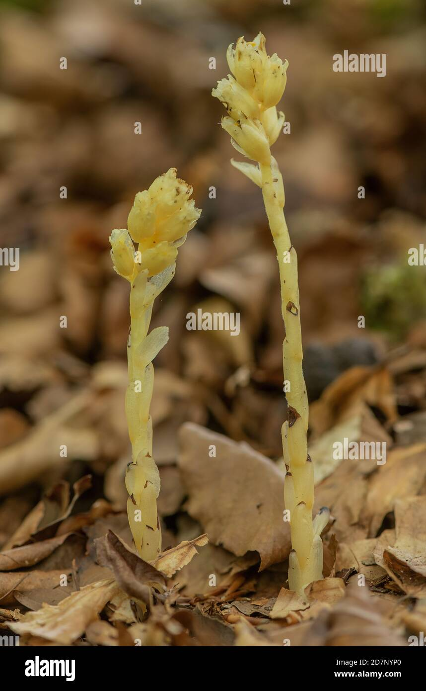 Yellow bird's-nest, Hypopitys monotropa, in flower in beech woodland, plantation; Dorset. Stock Photo