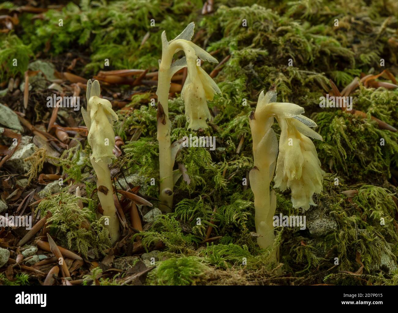 Yellow bird's-nest, Hypopitys monotropa, in flower in beech woodland, plantation; Dorset. Stock Photo