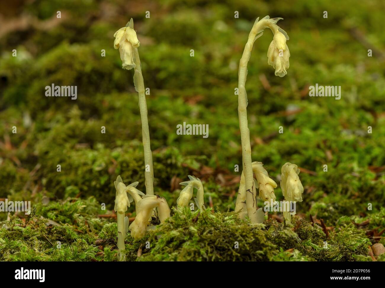 Clumps of Yellow bird's-nest, Hypopitys monotropa, in flower in beech woodland, plantation; Dorset. Stock Photo