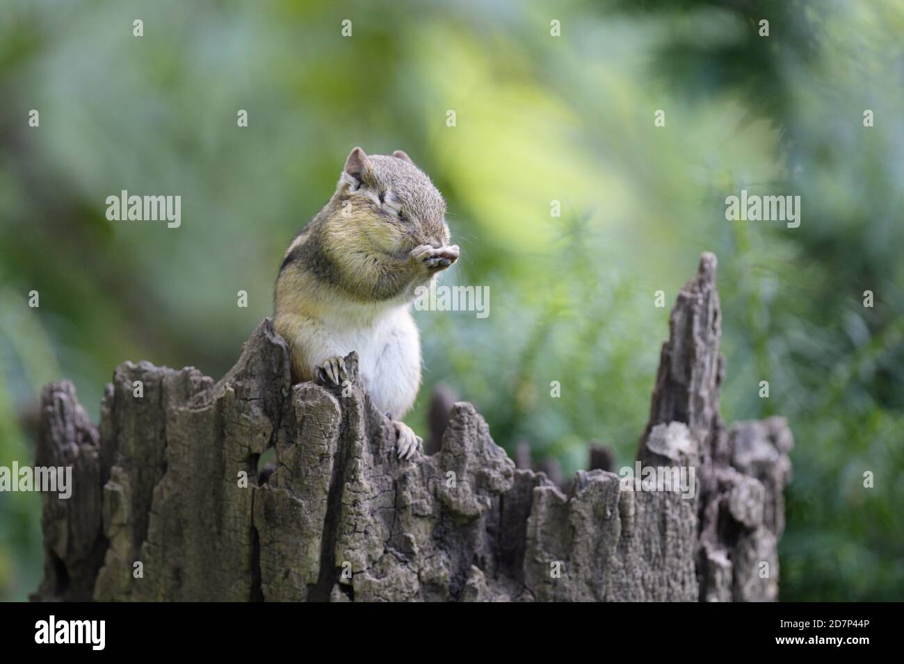 An Eastern chipmunk grooming himself on a tree trunk Stock Photo