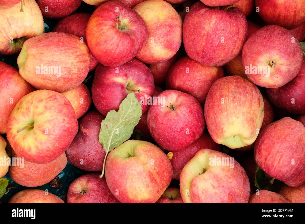Close up view of freshly picked gala apples at roadside fruit stand Stock Photo