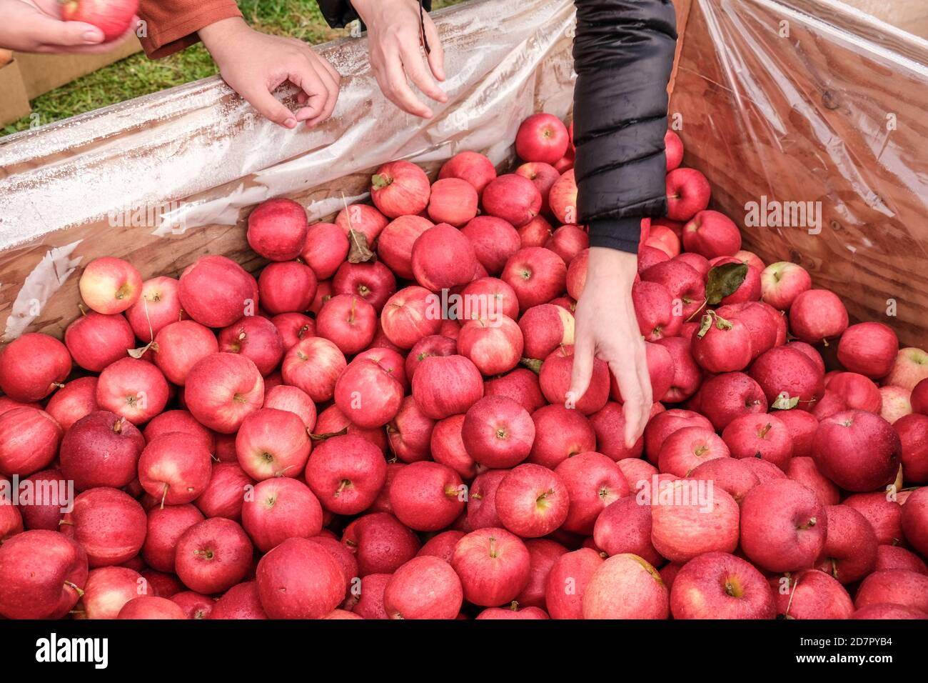 Woman picking up freshly picked gala apples at roadside fruit stand Stock Photo