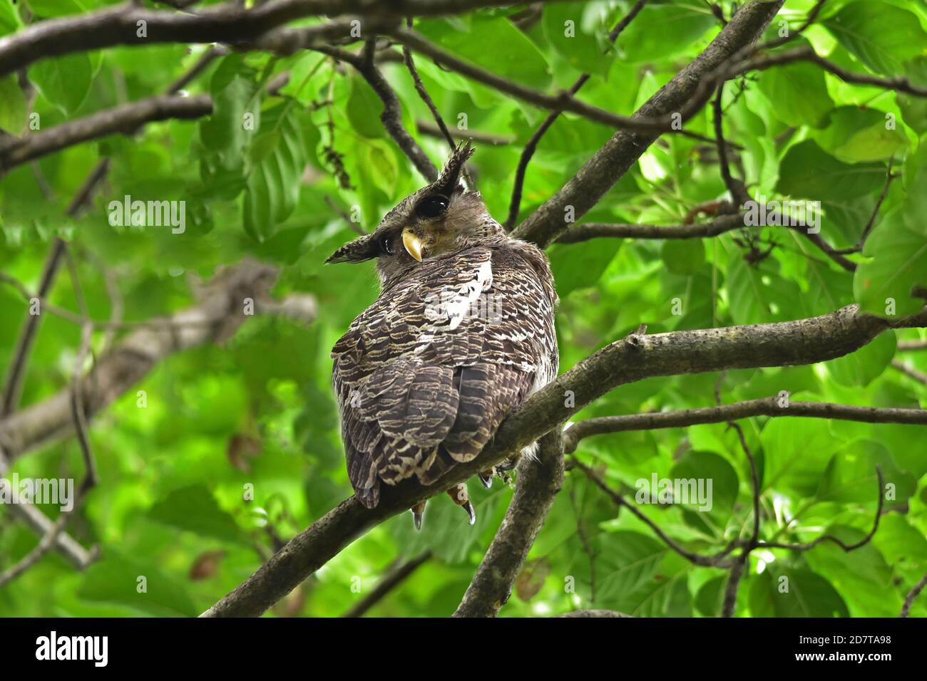 Bubo Nipalensis High Resolution Stock Photography And Images Alamy