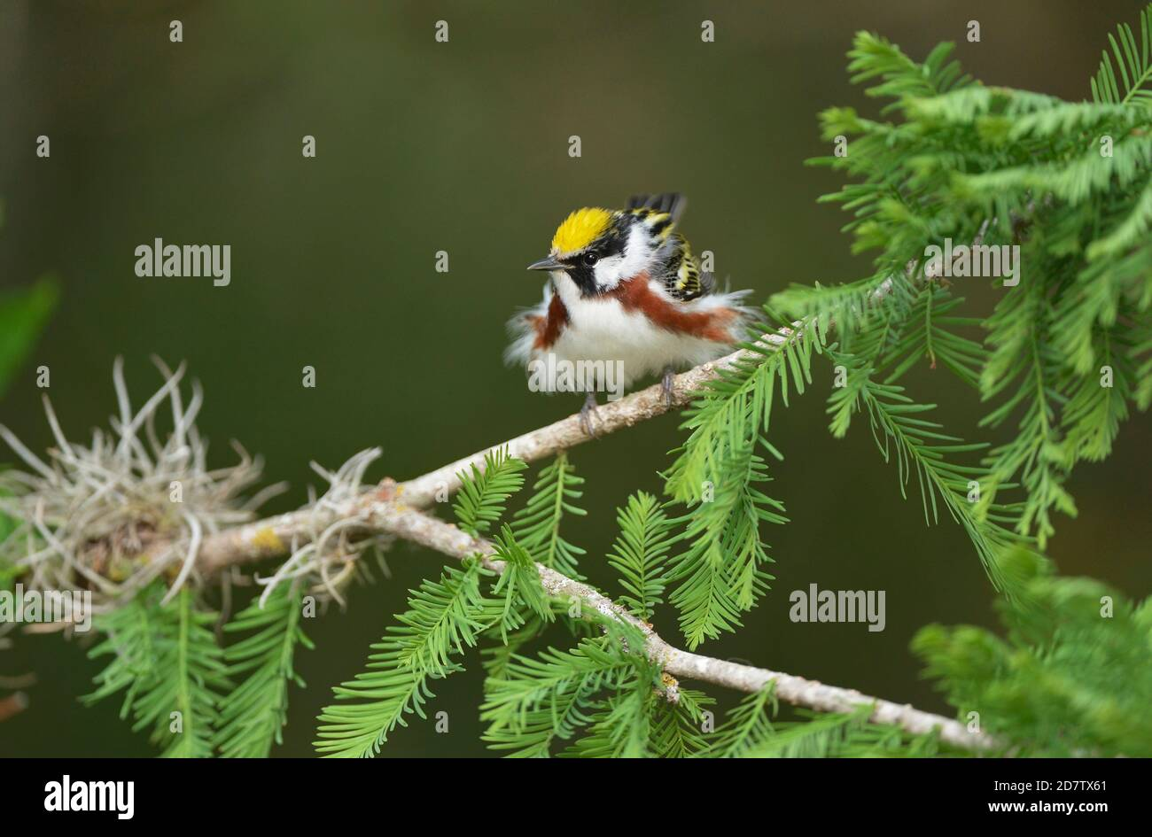 Chestnut-sided Warbler (Dendroica pensylvanica), adult male, South Padre Island, Texas, USA Stock Photo