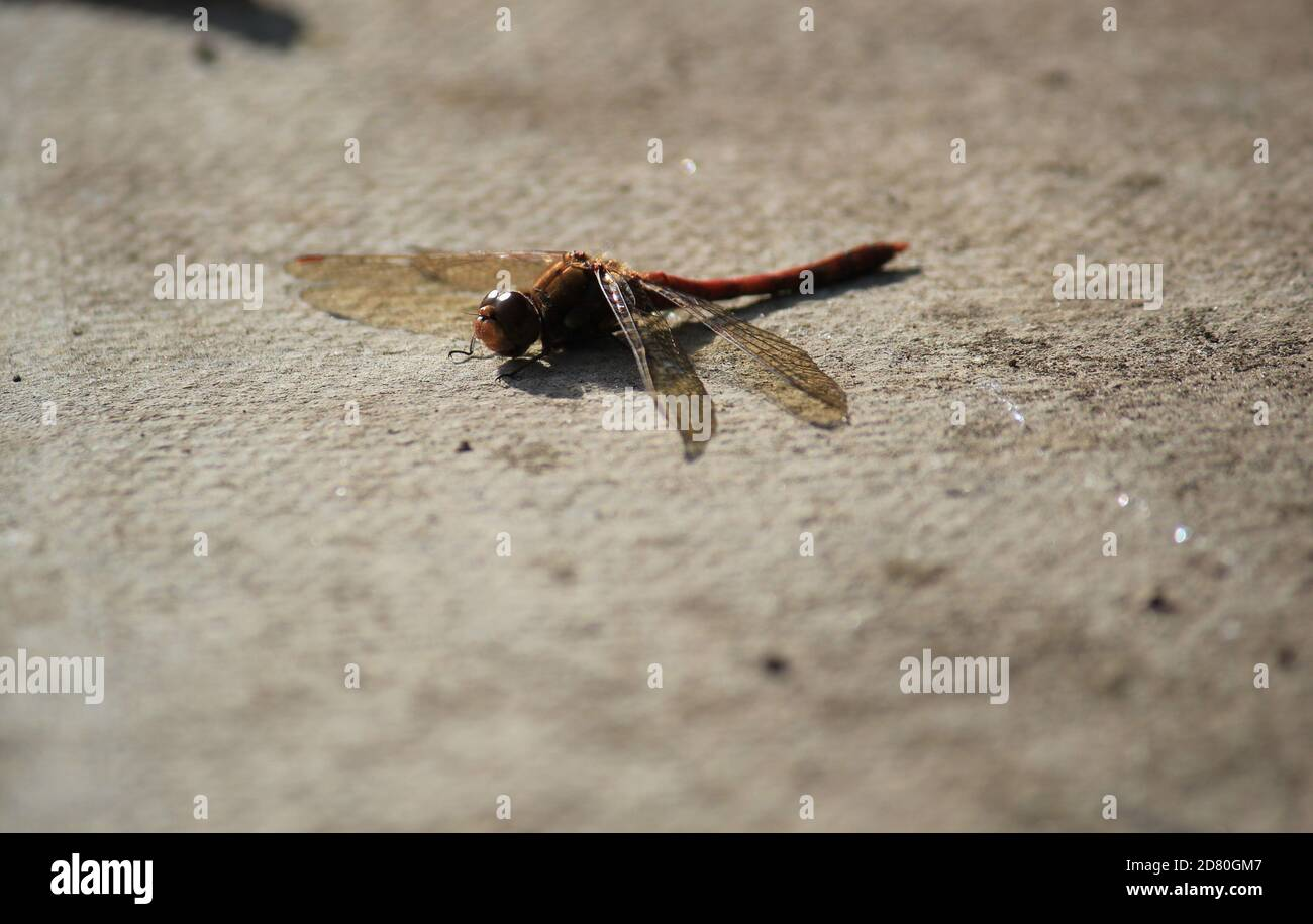 dragonfly red veined darter common in the UK  - stock photo image Stock Photo