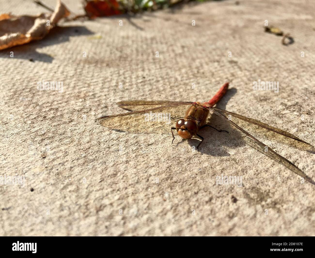 dragonfly red veined darter common in the UK Stock Photo