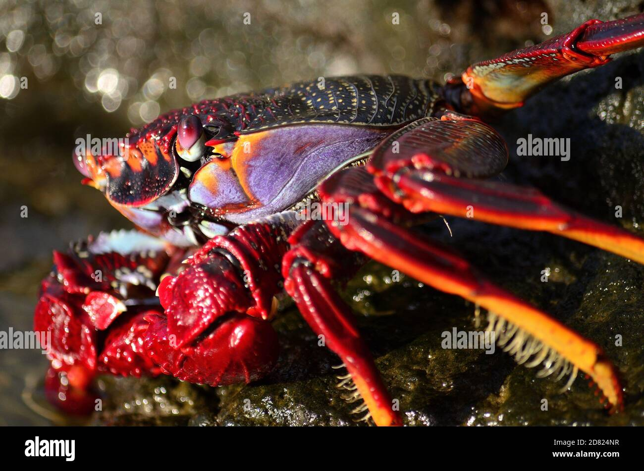 Closeup of beautiful red crab on the rocks at low tide, Grapsus adscensionis Stock Photo