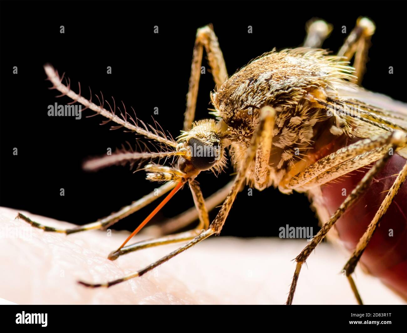Dangerous Malaria Infected Mosquito Isolated on Black. Leishmaniasis, Encephalitis, Yellow Fever, Dengue, Malaria Disease, Mayaro or Zika Virus Infect Stock Photo