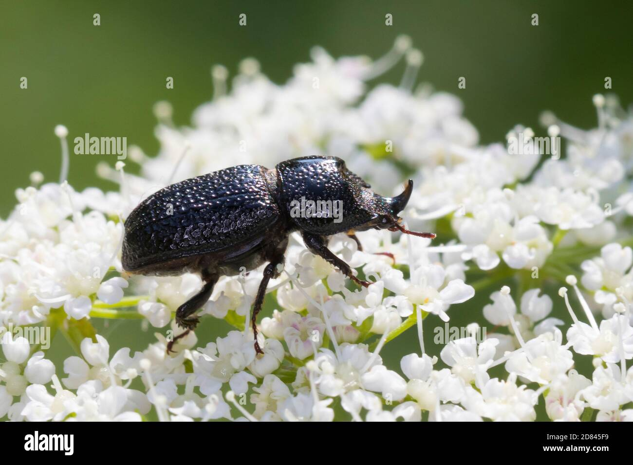 Beetl High Resolution Stock Photography And Images Alamy