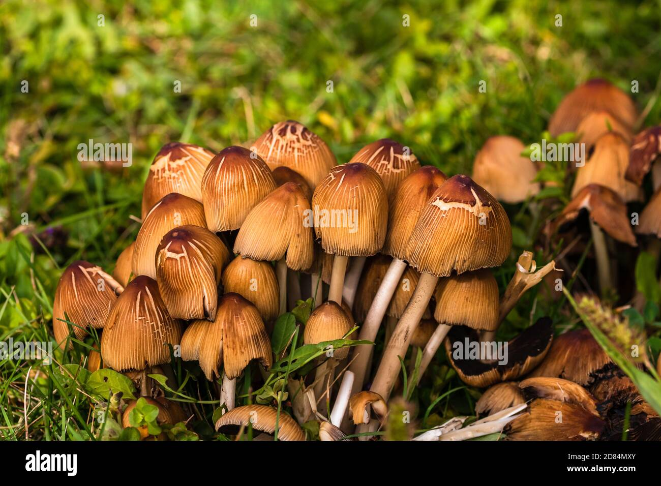Close up of wild mushrooms growing in garden isolated. Stock Photo