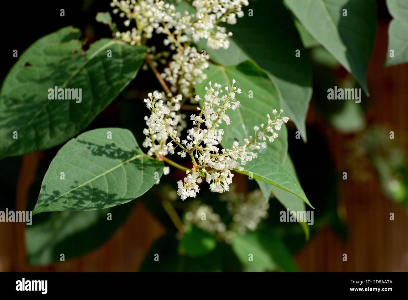 Asian knotweed or Japanese knotweed, Japanischer Staudenknöterich, Fallopia japonica, ártéri japánkeserűfű Stock Photo