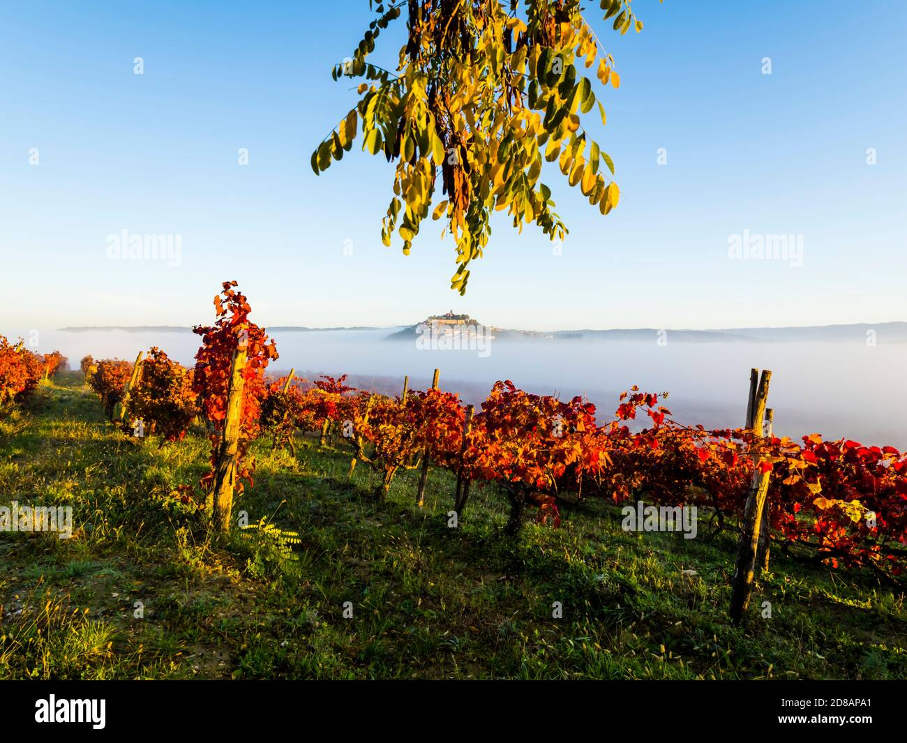 Morning fog landscape Motovun in Istria Croatia Europe Red Autumnal leaves vineyard in foreground and oldtown on hilltop protruding through Stock Photo